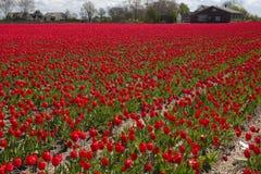 Cultura da tulipa Imagem de Stock Royalty Free