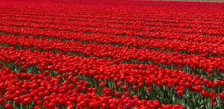 Cultura da tulipa Fotografia de Stock Royalty Free