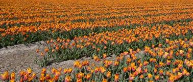 Cultura da tulipa Foto de Stock
