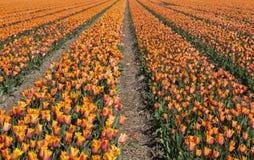 Cultura da tulipa Imagens de Stock