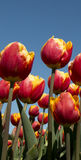 Cultura da tulipa Fotos de Stock