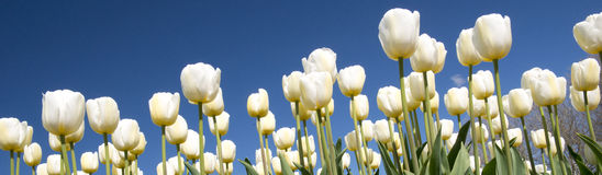 Cultura da tulipa Imagens de Stock Royalty Free