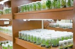 Cultura de tecido de planta Fotografia de Stock