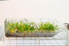 Cultura de tecido de planta fotos de stock royalty free