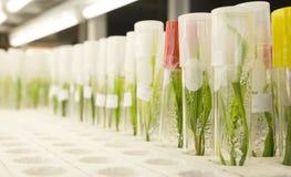 Cultura de tecido de planta Imagem de Stock Royalty Free