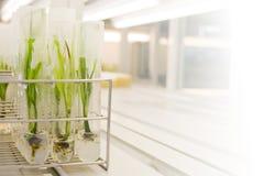 Cultura de tecido de planta Fotografia de Stock Royalty Free