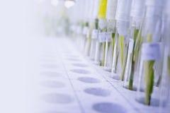 Cultura de tecido de planta Fotos de Stock