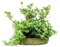 Cultura dei bonsai di un albero di banyan su un vaso Fotografia Stock