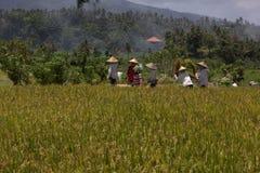 Cultura del riso in Bali immagine stock