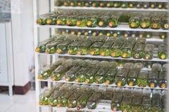 Cultura del tessuto dell'orchidea che sviluppa in una bottiglia sullo scaffale nella stanza del laboratorio Immagine Stock
