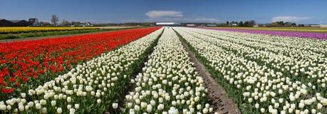 Cultura del tulipano Fotografie Stock