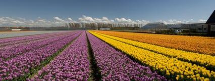 Cultura del tulipano Immagine Stock