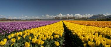 Cultura del tulipano Immagine Stock Libera da Diritti
