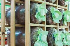 Cultura della borsa del fungo Fotografie Stock