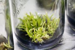 Cultura di tessuto vegetale Fotografia Stock Libera da Diritti