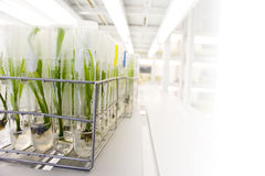 Cultura di tessuto vegetale Immagine Stock Libera da Diritti