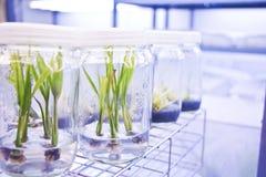 Cultura di tessuto vegetale Fotografie Stock
