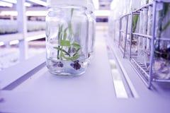 Cultura di tessuto vegetale Fotografia Stock