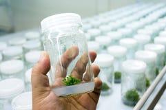 Cultura di tessuto vegetale di esperimento Fotografia Stock