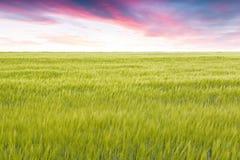 Cultura do trigo na primavera com um céu nebuloso Fotografia de Stock Royalty Free