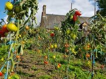 Cultura dos tomates Imagens de Stock Royalty Free