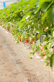 Cultura em uma morango e em morangos da estufa Fotografia de Stock Royalty Free
