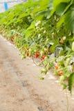 Cultura in fragola e fragole della serra Fotografia Stock Libera da Diritti