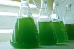 Cultura marinha do plâncton no laboratório dos produtos vidreiros foto de stock