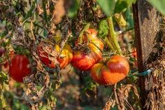 Cultura orgánica natural del tomate Fotografía de archivo