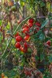 Cultura orgánica natural del tomate Fotos de archivo