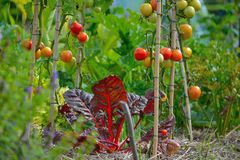 Cultura, salade e tomates crescentes Imagens de Stock Royalty Free