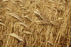 Cultura secada dourada do trigo da agricultura imagens de stock
