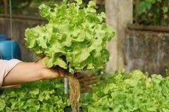 Cultura verde organica fresca della quercia in azienda agricola aquaponic o idroponica Fotografia Stock