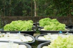 Cultura verde organica fresca della quercia in azienda agricola aquaponic o idroponica Fotografie Stock