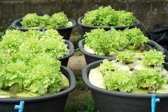 Cultura verde organica fresca della quercia in azienda agricola aquaponic o idroponica Immagine Stock