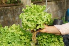 Cultura verde organica fresca della quercia in azienda agricola aquaponic o idroponica Fotografia Stock Libera da Diritti