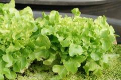 Cultura verde organica fresca della quercia in azienda agricola aquaponic o idroponica Fotografie Stock Libere da Diritti