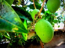 Cultural artform. Spring ripening Mango in the stalk with flowers Royalty Free Stock Image
