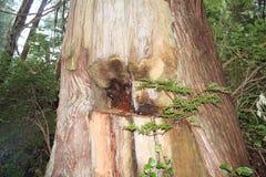 Culturally ändrat träd Fotografering för Bildbyråer