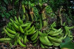Culture of Bananas in Isla Ometepe, Nicaragua Stock Images
