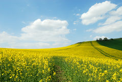 Culture of canola Royalty Free Stock Photography