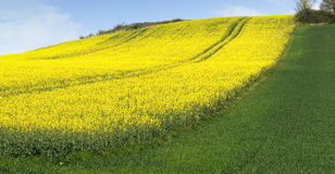 Culture of canola Royalty Free Stock Photo