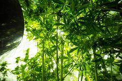 Culture d'intérieur de marijuana - la marijuana élèvent la boîte photos libres de droits