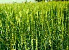 Culture de blé Photo libre de droits