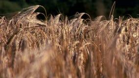 Culture de blé soufflant dans la fin de vent  banque de vidéos