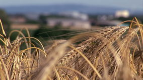Culture de blé soufflant dans la fin de vent avec des bâtiments à l'arrière-plan clips vidéos