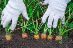 Culture de carottes La femme récolte une culture de carottes Carotte très grande Images libres de droits