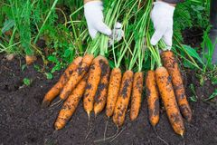 Culture de carottes La femme récolte une culture de carottes Carotte très grande Photo stock