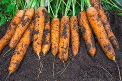 Culture de carottes La femme récolte une culture de carottes Carotte très grande Images stock