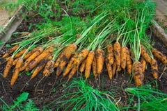 Culture de carottes La femme récolte une culture de carottes Carotte très grande Image stock